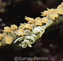 Whip coral partner shrimp. by Gurney Fermin 